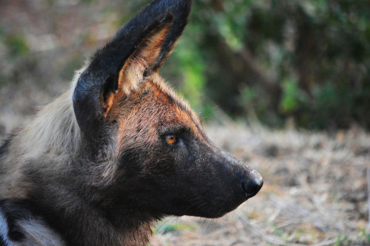 African Wild Dog watching and waiting on the morning hunt. African Wild Dog African Wild Dogs African Wildlife Dog Dogs Wild Dog Profile Wild Dogs Wildlife & Nature Wildlife Photography