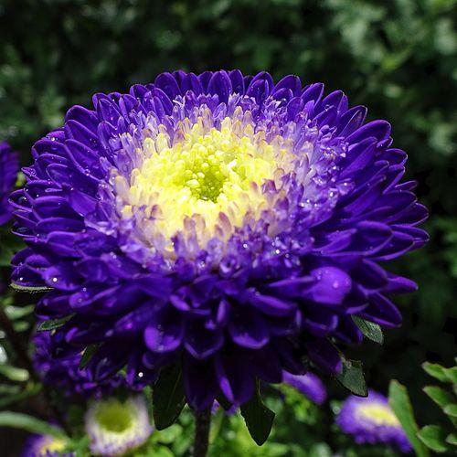 Astor Flower