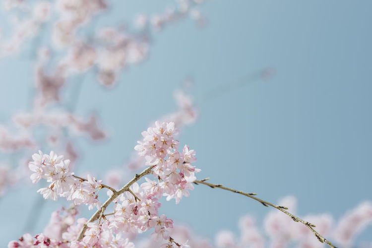 Almond Tree Beauty In Nature Blossom Branch Cherry Blossom Close-up Day Flower Flower Head Focus On Foreground Fragility Freshness Growth Nature No People Outdoors Petal Pink Color Plum Blossom Sky Springtime Tree Twig