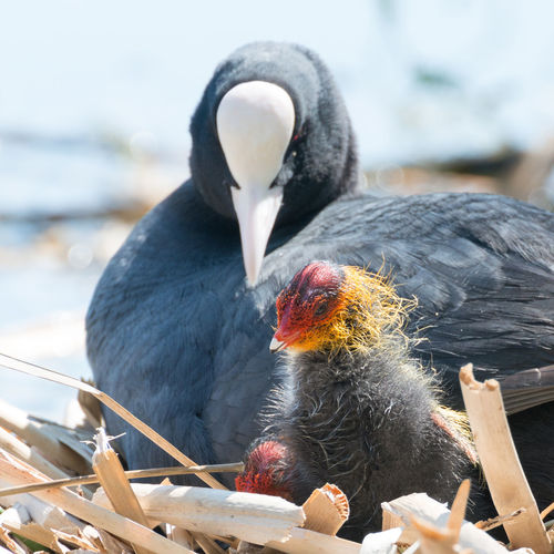 Close-Up Of Coot Family On Nest Against Lake