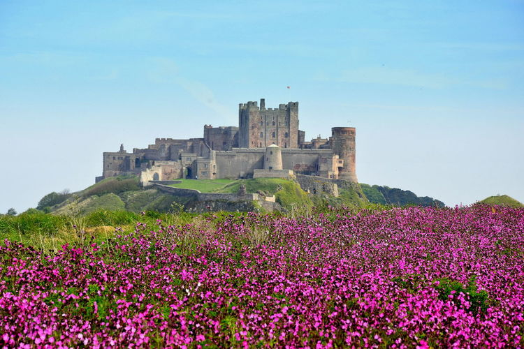 Bamburgh Castle in Pink Castle Bamburghcastle Countryside Flowers, Nature And Beauty Landscape Medieval North East England Northumberland