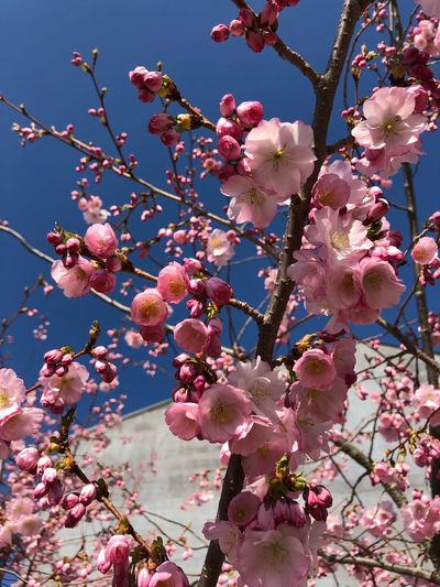 Kirschblüte Plant Flowering Plant Flower Growth Pink Color Fragility Tree Vulnerability  Branch Freshness Beauty In Nature Blossom Springtime Nature Sky Low Angle View Close-up Day No People Cherry Blossom