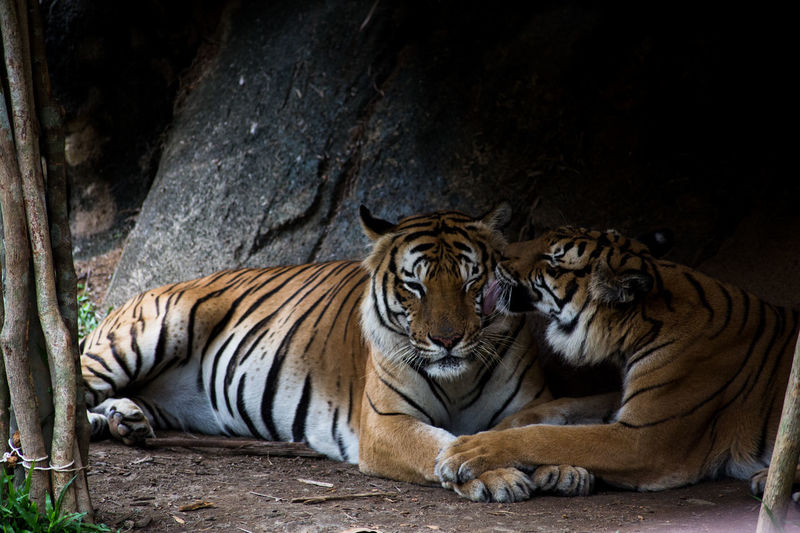 Animal Themes Animallovers Animals In Captivity Day Endangered Species Mammal Nature Nature No People Outdoors Tiger Zoo Animals  Zoophotography