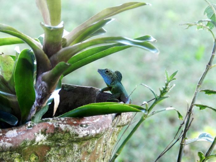 Anolis Reptile Tree Close-up Plant Green Color