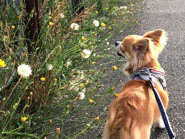 Dog Domestic Animals One Animal Animal Themes Pets Mammal Rear View Day Grass Outdoors Nature Flower One Person People Niko Chihuahua Family
