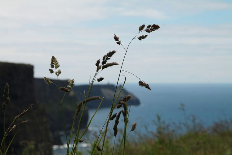 Grasses Grasses And Ozean Grasses And Cliffs Cliffs Of Moher  Cliffs Of Moher In The Back Focus On Foreground Nature Beautiful Nature Ireland Ireland Lovers Silence Moment Nature Photography Naturelovers Landscape_photography
