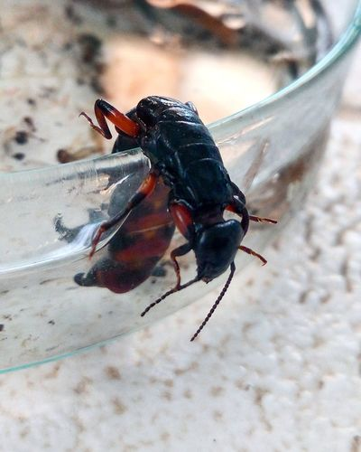 Heee..e.e.e.lp me to ge.e.e..eet out of thiis! Give me your hand please! Help Insects  Entomology Arthropoda Insecta Perce Oreille Black Red Colors Dark Agriculture Project Agricultural Land Agricoltura Laboratory Research And Development Research Ingeneer Ingeneering