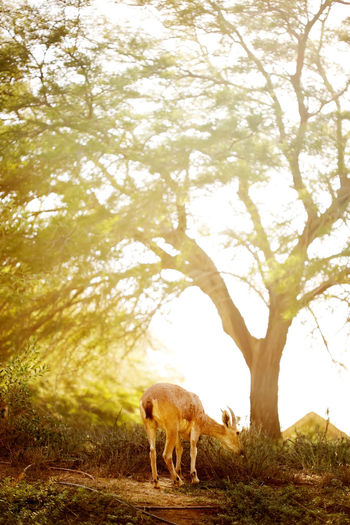 Goat at the sunset meadow among trees. Farmland concept. Goat Farming Mammal Field Livestock Meadow Pasture Pastoral Spring Ranch Farmland Grassland Heaven Paradise Eden Garden Forest Life Wild Nature Tree Park Animal Pet Background Sun Sunset Dusk Light Magic Easter Grace Summer Sunlight Outdoor Land Concept Farm Landscape Peace Village Yellow Scenic Hope Country Rural Animal Themes Animal Wildlife Day No People First Eyeem Photo