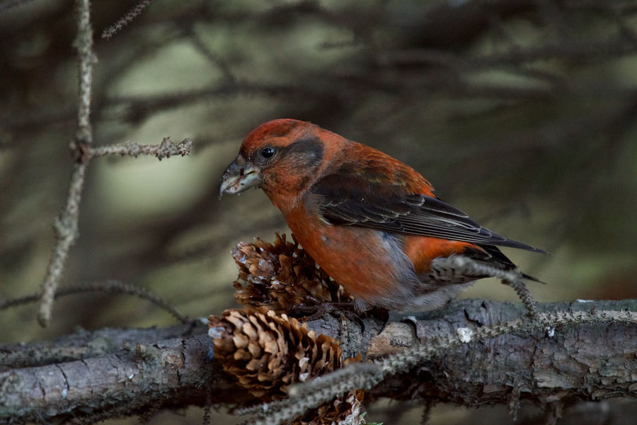 Red crossbill Eating Loxia Curvirostra Animal Themes Animal Wildlife Animals In The Wild Bird Branch Close-up Conifer Cone Day Focus On Foreground Male Nature No People One Animal Outdoors Perching Red Color Red Crossbill Tree