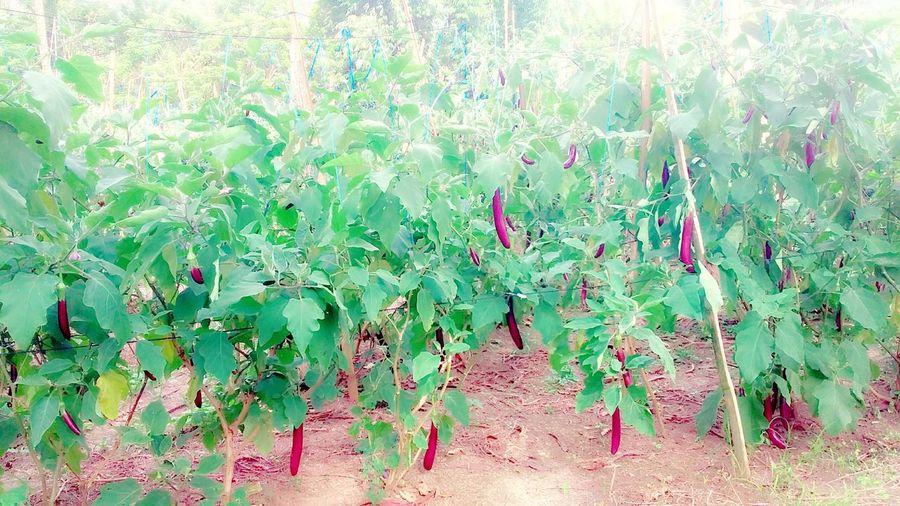 Eggplant garden