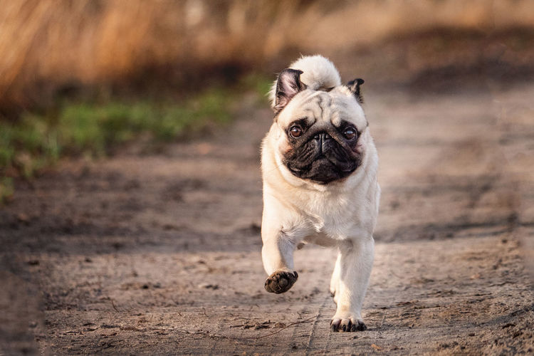 One Animal Domestic Animal Themes Pets Domestic Animals Animal Mammal Dog Canine Focus On Foreground Lap Dog Pug Small Vertebrate No People Day Full Length Portrait Land Looking At Camera Shih Tzu Mops Pug EyeEmNewHere EyeEm Best Shots