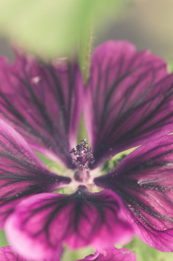 purple mallow blossom close up Backgrounds Beauty In Nature Blooming Blossom Botany Close-up Filtered Image Flower Flower Head Focus On Foreground Fragility Growth In Bloom Macro Mallow Malva Officinalis Nature Nature_collection Petal Pink Color Plant Pollen Purple Selective Focus Stamen