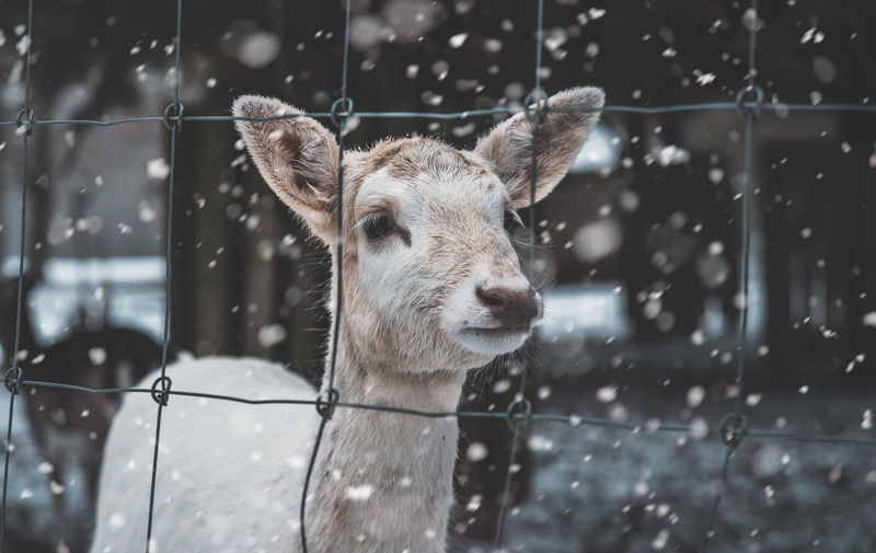 Close-up of deer seen through fence during snowfall