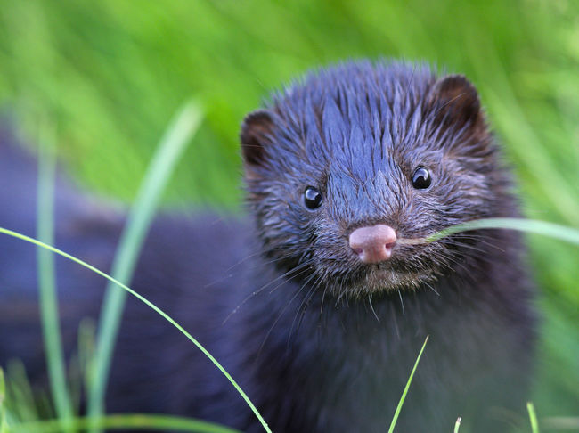 little marten - the two of us met by accident, time for posing was limited Animal One Animal Animals In The Wild No People Day Plant Otter Nature Portrait Grass Close-up Eyes