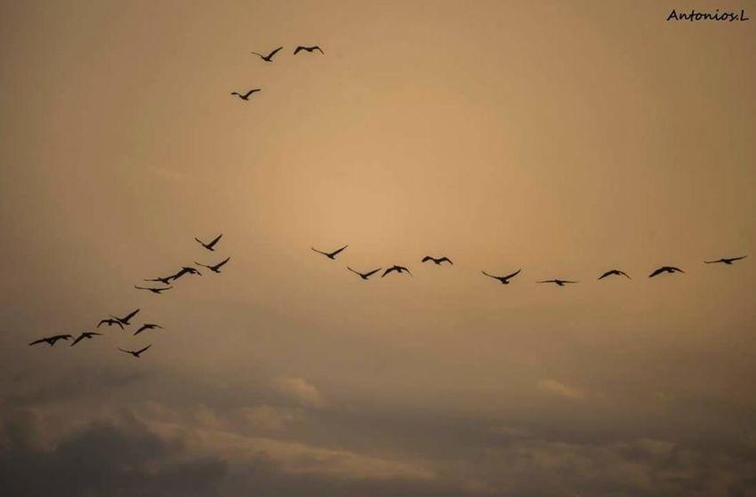 Flying Bird Flock Of Birds Large Group Of Animals Animals In The Wild Animal Wildlife Animal Themes