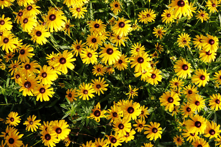 Park walks EyeEm EyeEm Best Shots EyeEm Nature Lover Nature Puremichigan Backgrounds Beauty In Nature Beauty In Nature Black-eyed Susan Blooming Close-up Day Field Flower Flower Head Fragility Freshness Growth High Angle View Nature No People Outdoors Petal Plant Yellow