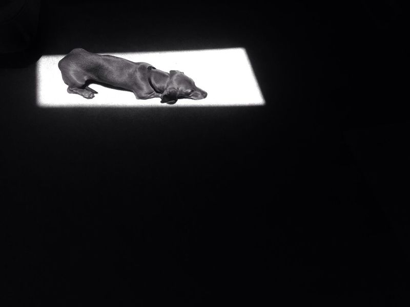 Dog Dachshund Light And Shadow Black & White Negative Space