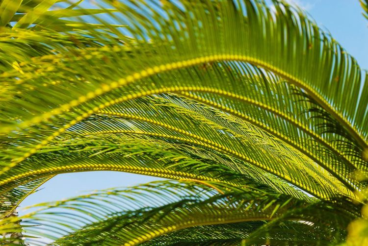 Green Color Leaf Plant Part Plant Growth Nature Close-up Palm Leaf Beauty In Nature No People Day Tree Palm Tree Sunlight Freshness Outdoors Low Angle View Tropical Climate Green