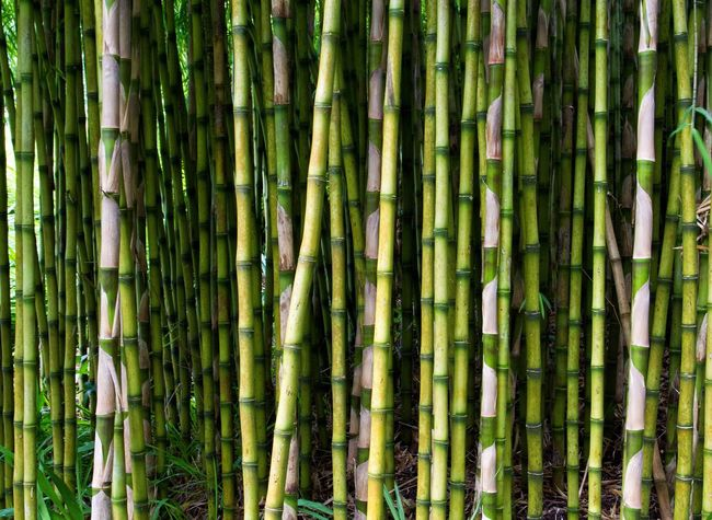 Tall and straight bamboo canes filling the frame making a background. Bamboo Bamboo Bamboo Forest Bamboo Tree... Background Backgrounds Straight Upright Vertical Vertical Symmetry Nature Green Green Color Plants Plants And Flowers Plants 🌱 Check This Out