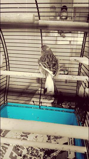 Bird Canary Mascota Liberty Lovely Pet Lovely Bird Animais Animals Animais Pacion