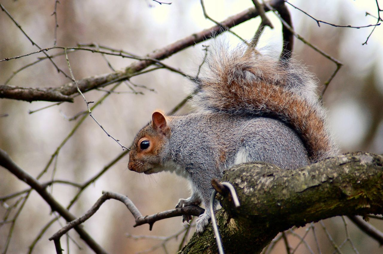 one animal, squirrel, animal themes, mammal, animals in the wild, no people, animal wildlife, focus on foreground, nature, day, outdoors, branch, eating, tree, close-up