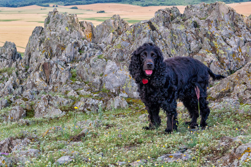 Beautiful Cocker Spaniel  Grass Green Color RED BANDANA Sitting Black Canine Cliff Dog Domestic Animals Friendly Fur Landscape Mammal Mountain Nature Outdoors Pets Portrait Resting Rocks Valley Watching Young Animal