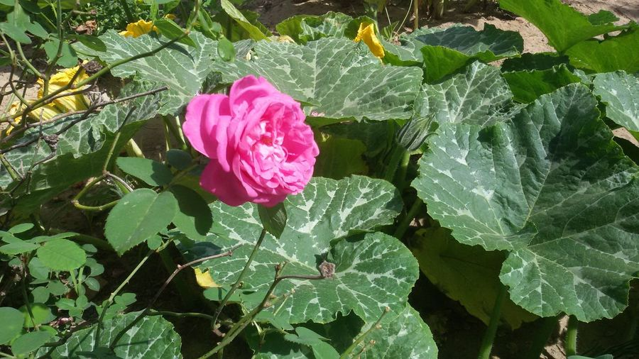 A rose on the pumpkin leaves. Rose🌹 Pumpkin Leaves Plants And Flowers Nature Closeup Outdoors Garden Vegetables Agriculture
