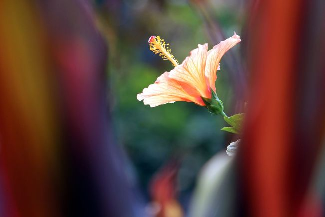 Orange hibiscus picture with stamen Beautiful Flower, Natural Color, Beautiful ♥ Beauty In Nature Blooming Botany Flower Flower Head Flower Stamen Freshness Hibiscus Hibiscus Flower Hibiscus 🌺 Orange Hibiscus Petal Selective Focus