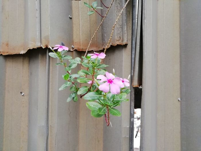 Close-up of pink flowering plant by door