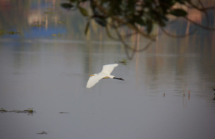 Animal Animal Themes Animals In The Wild Beauty In Nature Bird Egret Flying Great Egret Heron Lake Natural Beauty Nature Outdoors Reflection Scenery Scenics Spread Wings Tranquil Scene Tranquility Water Wild Wildlife Wildlife & Nature Vella Kokku