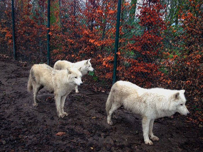 ✨ Good night, friends ✨ Wolf Wolf Pack WOlves Wolves♥ Animals Animal Animal Themes Animal Photography Animal_collection Animalphotography Zoo Zoo Animals  Artis Zoo Artis Amsterdam Amsterdam Amsterdam Zoo EyeEm Nature Lover Wolfpack Exceptional Photographs 2014