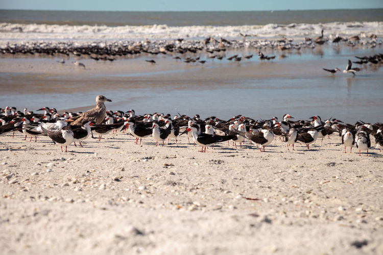 Nesting black skimmer terns rynchops niger on the white sands of clam pass in naples, florida.