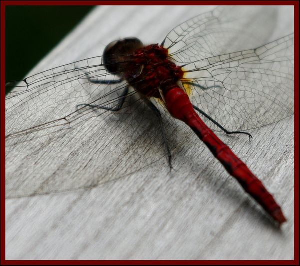 Dragonflies Dragonfly Insect Red Red Dragonfly Transparent Wings Wing Wood