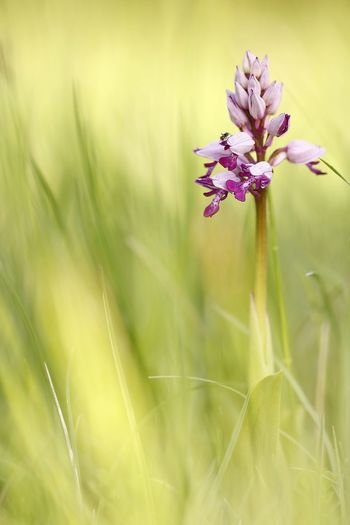 Orchis militaris, wild Orchid Beauty In Nature Blade Of Grass Close-up Day Field Flower Flower Head Flowering Plant Fragility Freshness Grass Green Color Growth Inflorescence Land Nature No People Outdoors Petal Plant Purple Selective Focus Vulnerability