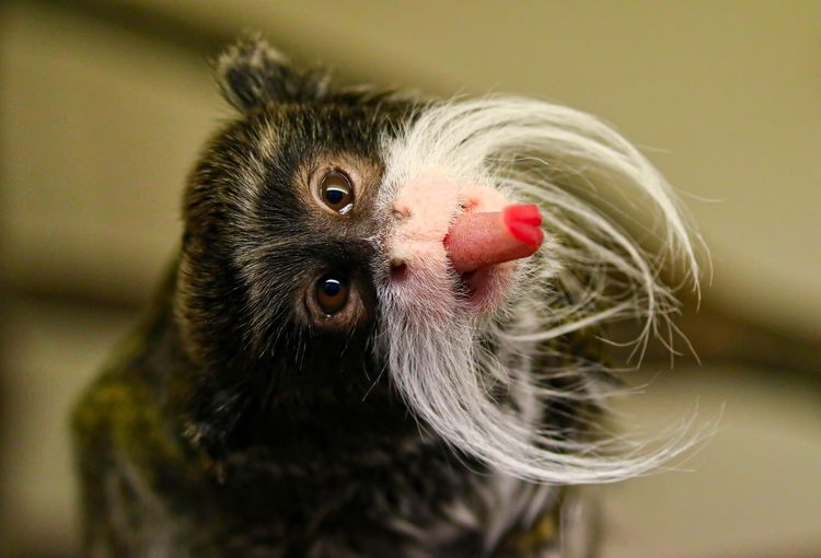 Cheeky Emperor Tamarin Monkey Animal Themes Animals In The Wild Close-up Day Indoors  Mammal Monkey Nature No People One Animal Portrait
