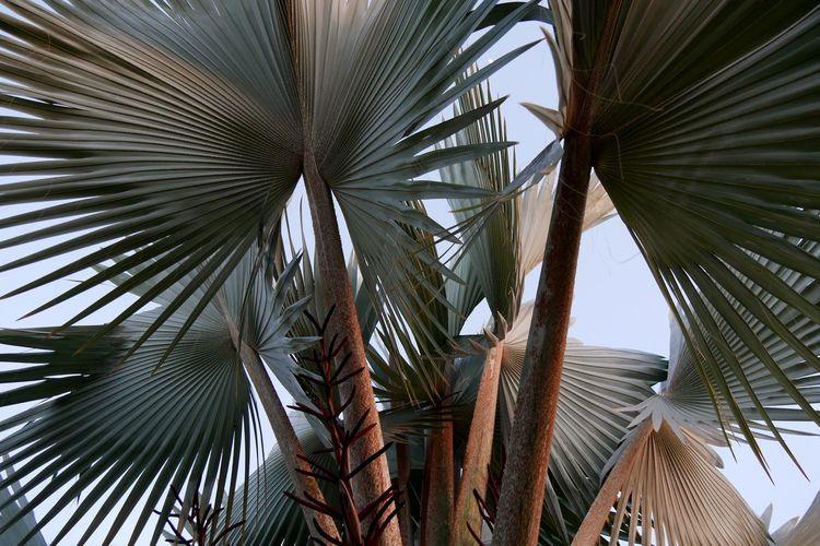 Palm Tree Palm