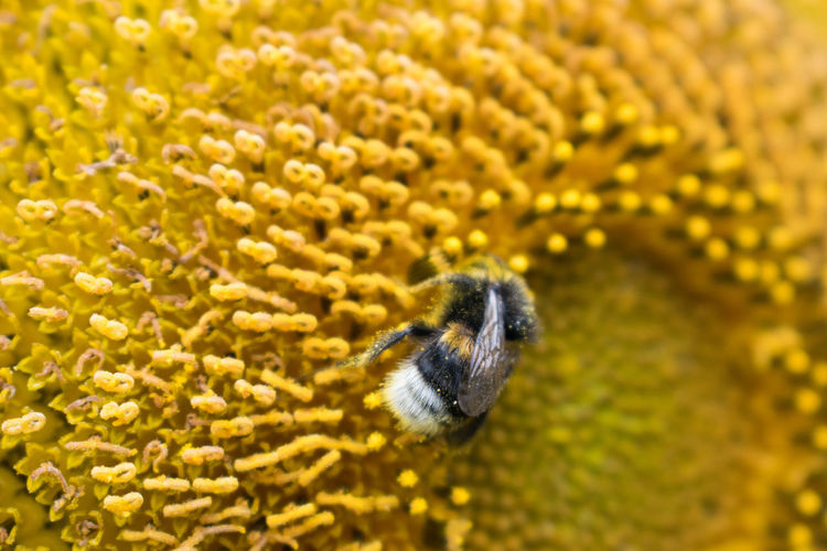 Animal Themes Animal Wildlife Animals In The Wild Beauty In Nature Bee Bumblebee Close-up Day Flower Flower Head Fragility Freshness Growth Insect Macro Nature No People One Animal Outdoors Plant Pollination Yellow Paint The Town Yellow