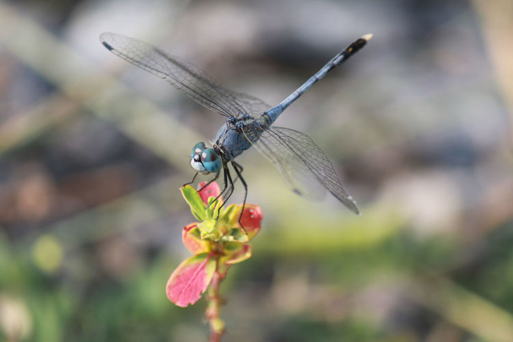 Dragonfly with
