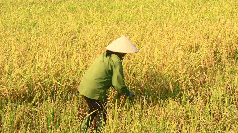 famer Agriculture Asian Style Conical Hat Cereal Plant Crop  Cultivated Land Day Farm Farm Worker Farmer Field Grass Green Color Growth Lifestyles Men Nature Occupation One Person Outdoors Real People Rear View Rural Scene Standing Walking Working