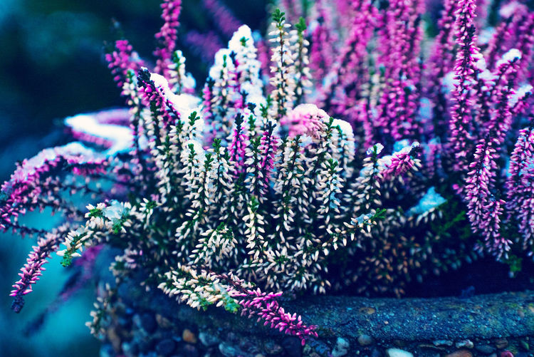 Close-up of pink flowering plant in a stone plant pot at winter