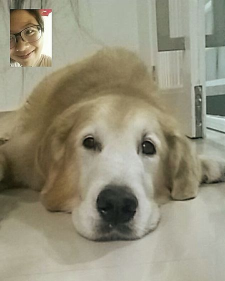 Miss my lion so badly... ** ignore my perv face Goldenretriever Mylion MyBae Adorable Longdistancerelationship