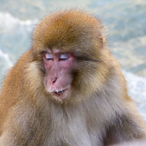 Nihonzaru - a Japanese Macaque resting their eyes beside a river. Natureseekers Nature IGDaily Sleep monkey wild wildlife natureporn weary photography photo photooftheday peace love Travel animals japan