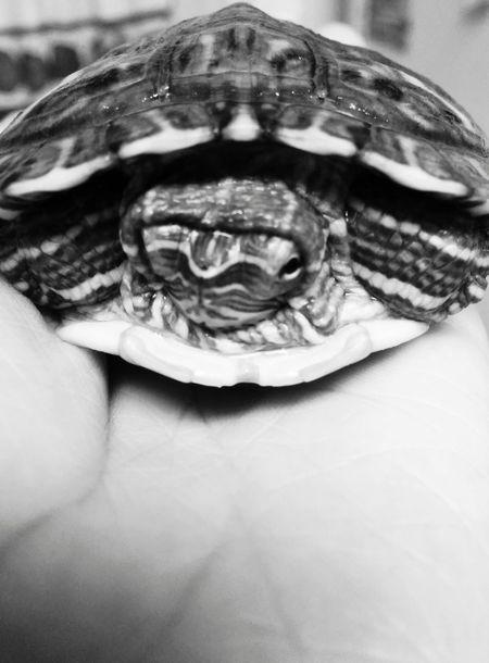 Redearsliderturtle Walter Turtle
