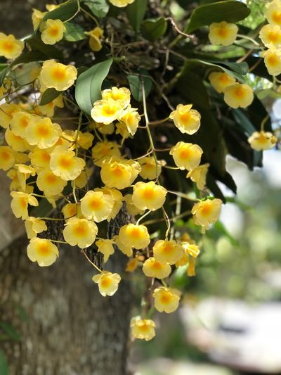 Yellow orchids in the garden day light time Flowering Plant Flower Plant Growth Yellow Fragility Freshness Vulnerability  Inflorescence Flower Head Focus On Foreground No People Nature Day Beauty In Nature Petal Close-up Lantana Outdoors Park