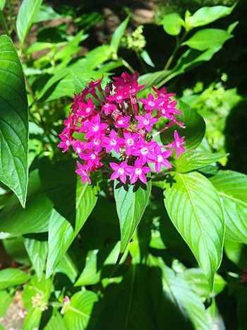 Flower Leaf Growth Nature Plant Pink Color Green Color Outdoors Beauty In Nature No People Fragility Freshness Blooming Lantana Camara Close-up Flower Head