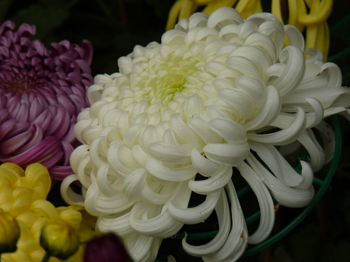 Aleq Beauty In Nature Bouquet Chrysanthemum Close-up Flower Flower Arrangement Flower Head Flowering Plant Focus On Foreground Fragility Freshness Growth Indoors  Inflorescence Nature No People Petal Pink Color Plant Vulnerability  White Color Yellow