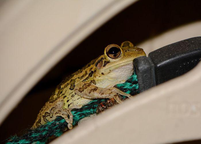 Macro Animal Nature Eyeemphoto EyeEm Frog Cubanfrog Cuban Ranacubana Rana Skin