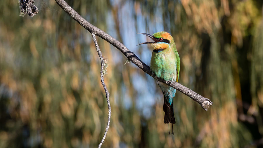 Rainbow bee-eater on branch of tree