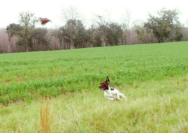 Florida Life Hunt Dogsofeyeem Pookie  German Shorthaired Pointer Birddog Quail Ocheesee Pond Dogslife Diduseethebird Lookupandleft Showcase:January Showcase: January Showcase: January Photography In Motion