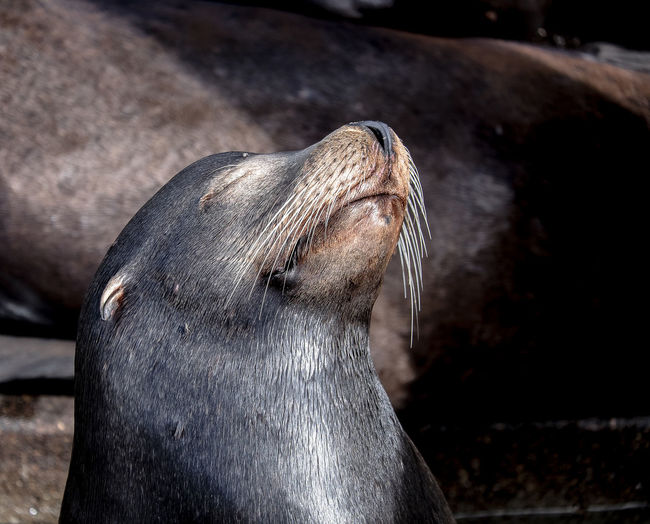 Mammal One Animal Relaxing Sea Lion Sun Worshipper Wildlife